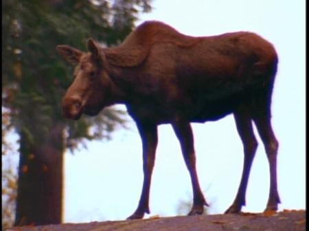 6-9-moose